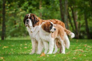 Dog Breeds More Prone Canine Hip Dysplasia