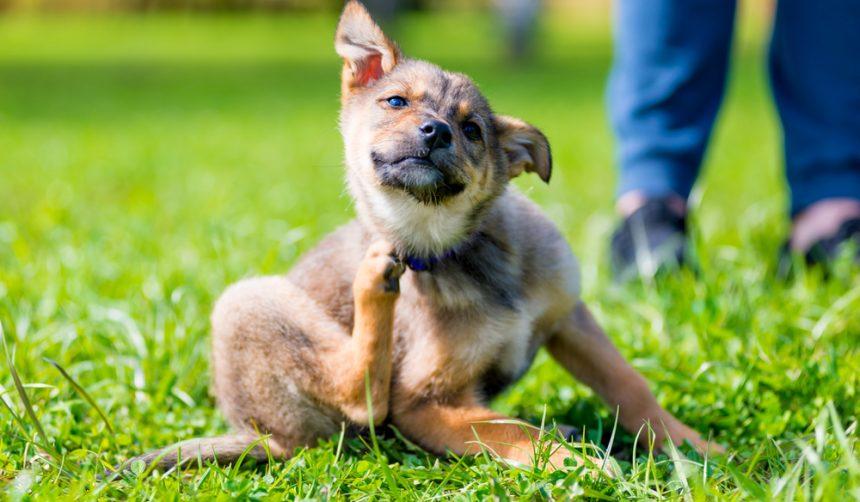How Treat Dog Atopic Dermatitis